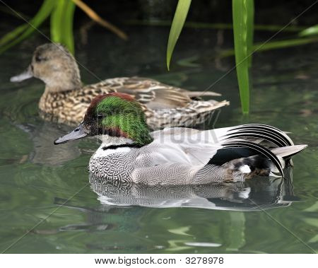 Falcated Duck Pair
