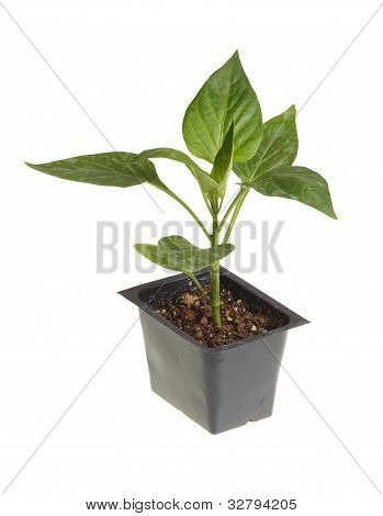 Seedling Of A Sweet Pepper Ready For Transplanting
