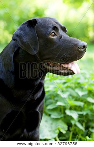 Large Black Labrador Retriever