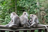 Monkey Family. Monkey Mothers And Their Cubs Sit Together. Monkey Family At Sacred Monkey Forest Ubu poster