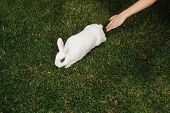 Womans Hand Reaching For A White Furry Bunny Rabbit On A Green Lawn. poster