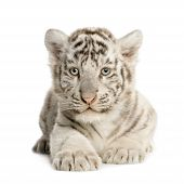 stock photo of tiger cub  - White Tiger cub  - JPG