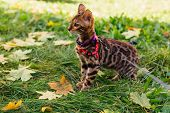 Cute Little Bengal Kitty Walking On The Fallen Yellow Maple Leaves poster