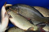 There Are Fresh Silvery Live Freshwater Carp Fish For Sale In The Store, In The Market. Food Backgro poster