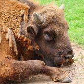 stock photo of aurochs  - Bison head  - JPG