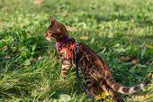 Cute Little Bengal Kitty Walking On The Grass Outdoors poster