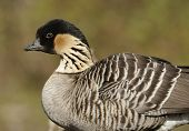 Hawaiian Goose or Ne-Ne
