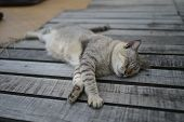 Kitten Or Young Gray Cat Sleeping On Wooden Way Look Lazy And Cute. poster