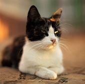 Tricolor Kitty Lies On The Stone Floor Outdoor, Domestic Animals Relaxing, Maneki Neko Cat. poster