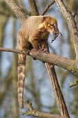 stock photo of coatimundi  - An eating coatimundi in a tree  - JPG