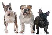 three different purebred bull breeds together isolated on white background poster