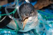 Marine Plastic Pollution And Nature Conservation Concept - Penguin Trapped In Plastic Net poster