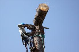 picture of arborist  - Man toppling large pine tree - JPG