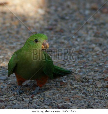 King Parrot Female