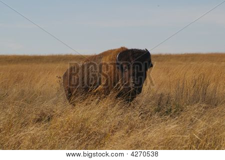 Bison/american Buffalo On Prairie