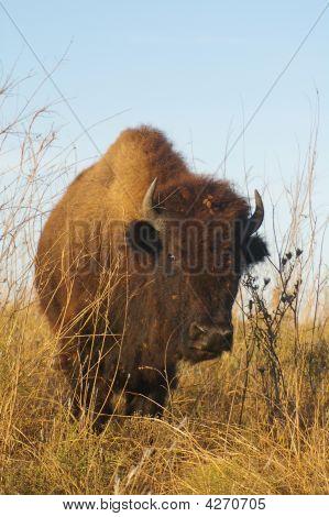 Young American Buffalo