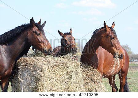 Horse Herd Eating Hay