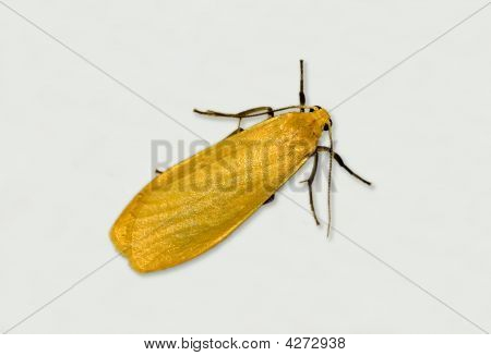 Orange Footman Moth