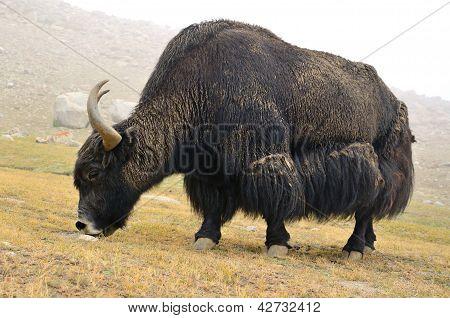 Tibetan  Yak On Pasture