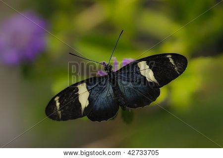 black longwing butterfly