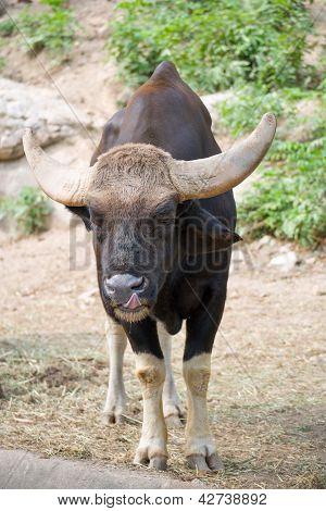 Gaur Licking Nose