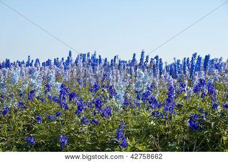 larkspur field