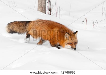 Red Fox (Vulpes vulpes) Runs Through Snow Eyeing Viewer