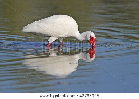 White Ibis Foraging In A Shallow Pond