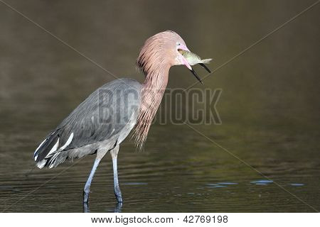 Reddish Egret - Catch Of The Day