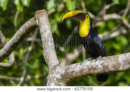 Chestnut-mandibled Toucan, Or Swainson's Toucan (ramphastos Ambiguus Swainsonii)