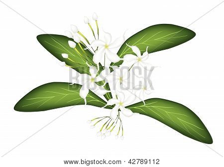 An Illustration Of Cape Jasmine On Tree