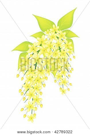 Beautiful Cassia Fistula Flower Isolated On White Background