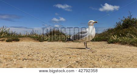 The European Herring Gull On The Etretat