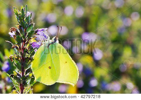 Brimstone Butterfly Closeup