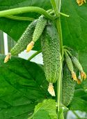 stock photo of ovary  - Ripe and ovaries of cucumbers on a bush - JPG