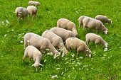 image of cattle breeding  - Sheep Grazing in the Alpine Meadows of Bavaria - JPG
