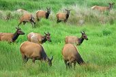"picture of cervus elaphus  - ""Elk Herd and Green Grass"" Roosevelt Elk Cervus elaphus at the Dean Creek Elk Perserve near Reedsport Oregon - JPG"