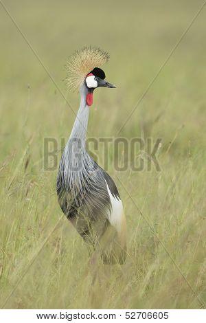 Grey Crowned Crane (balearica Regulorum), Tanzania