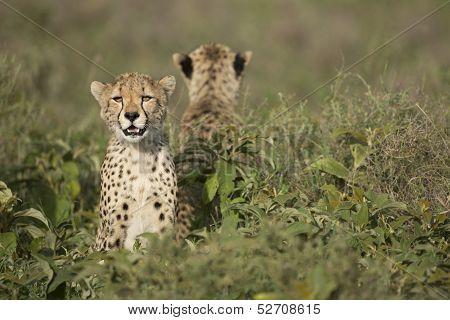Two Cheetah Cubs (acinonyx Jubatus) In Tanzania