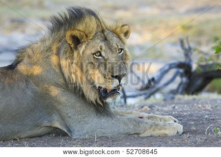 Male Lion (panthera Leo) Botswana