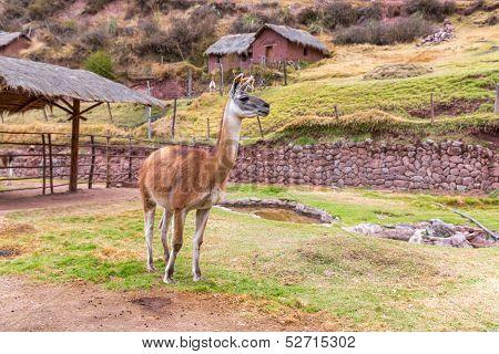 Farm of llama,alpaca, Vicuna in Peru, South America. Andean animal.