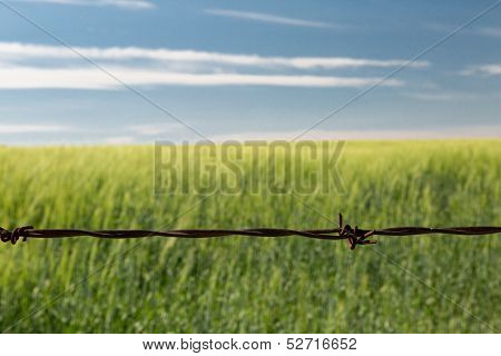 Barbed Wire Wheatfield Close-up