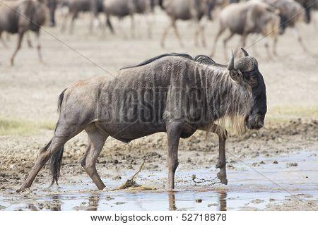 White Bearded Wildebeest On The Migration. Tanzania