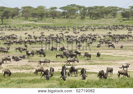 The Migration Herds In The Ndutu Area, Tanzania