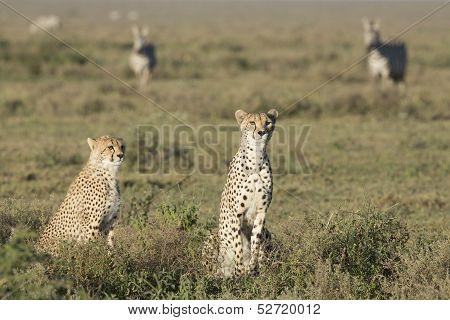 Adult Female Cheetah With Cub (acinonyx Jubatus) Tanzania