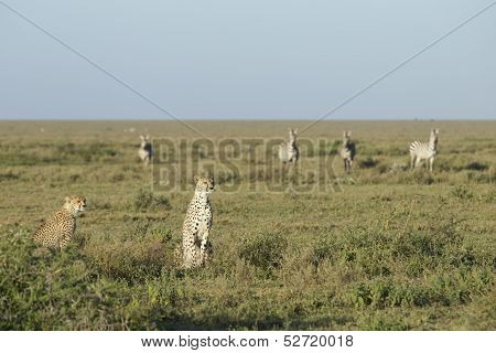 Adult Female Cheetah With Cub (acinonyx Jubatus) Tanzania