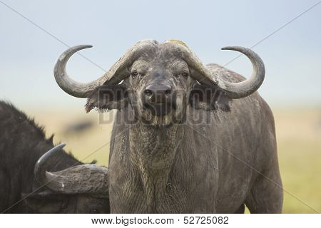 Cape Buffalo Bull (syncerus Caffer) In Tanzania