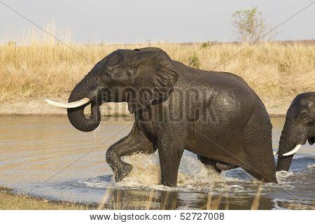 Male African Elephant, Kruger Park, (loxodonta Africana)