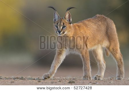 Caracal Walking, South Africa, (felis Caracal)