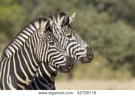 Two Burchells Zebra, South Africa